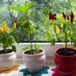 Не только декор: комнатные растения для кухни
